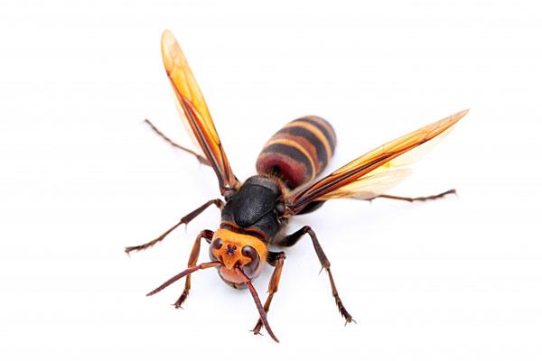 スズメバチに刺されたらどうしたらいいの?