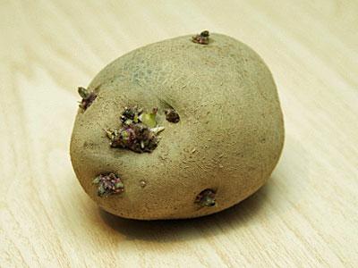 芽の出たジャガイモ